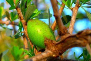 Moroccan Argan fruit that produces liquid gold.