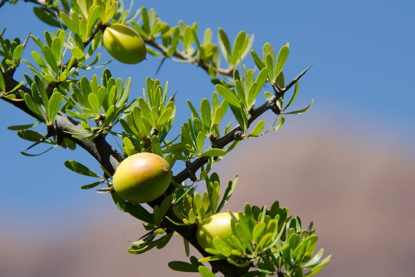 Fruit of the Argan tree.