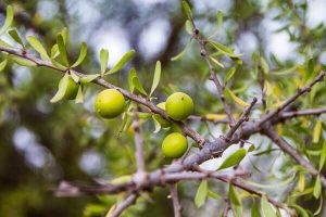 Argan fruits ready for picking